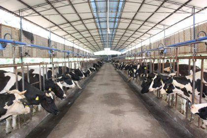Efficient Methods To Feed Dairy Cows- Cow Feed Making Machine