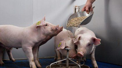 piglet feed processing technology